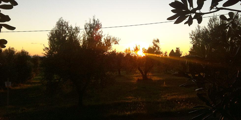 tramonto tra gli olivi dell'azienda agricola