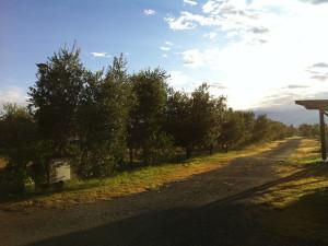 Viale olivi nell'azienda agricola Il Nazareno